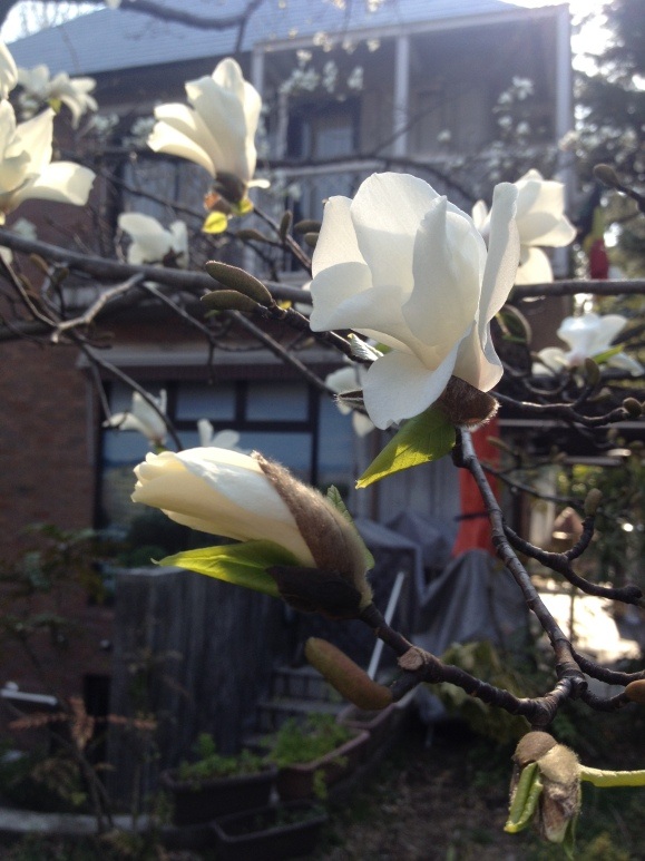 AND WHITE MAGNOLIAS!